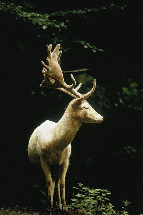 Un blanco en barbecho del macho se encuentra en un bosque En Suiza, 1973