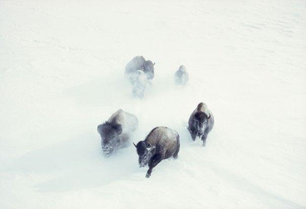 Bisonte americano carga a través de las nevadas fuertes en el Parque Nacional de Yellowstone, noviembre de 1967