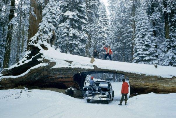 Explora los turistas Árbol muerto masivo con túnel cortado para una carretera en el Bosque Nacional Sequoia, mayo de 1951