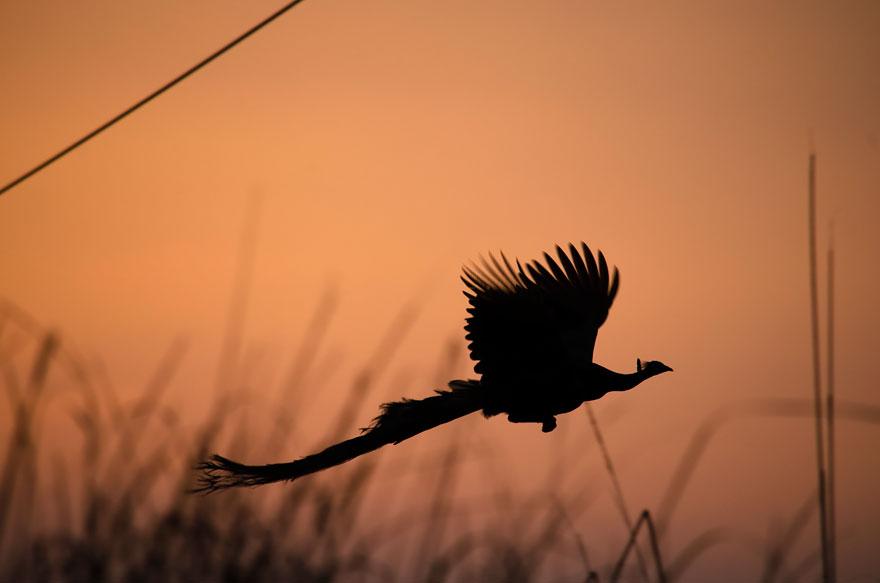 flying-peacock-10