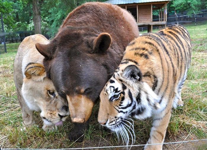lion-tiger-bear-unusual-friendship-animal-shelter-georgia-12