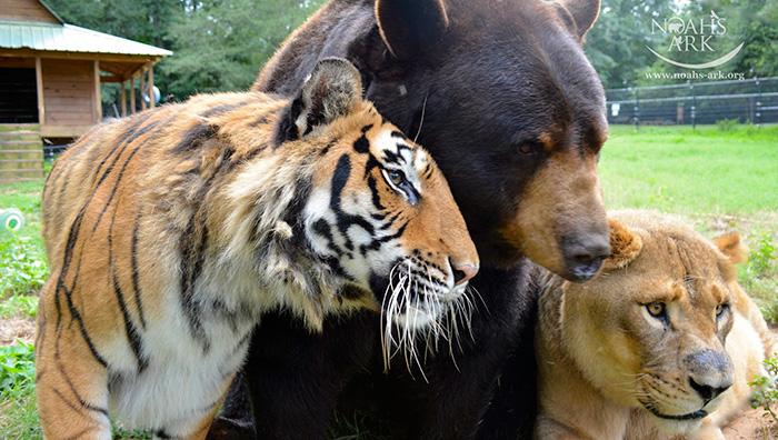lion-tiger-bear-unusual-friendship-animal-shelter-georgia-18