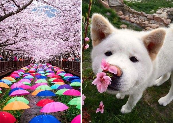 primavera, Japón y la cereza-flores-national-geographics-22