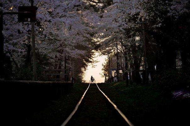 primavera, Japón y la cereza-flores-national-geographics-5