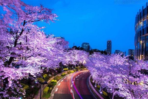 primavera, Japón y la cereza-flores-national-geographics-9