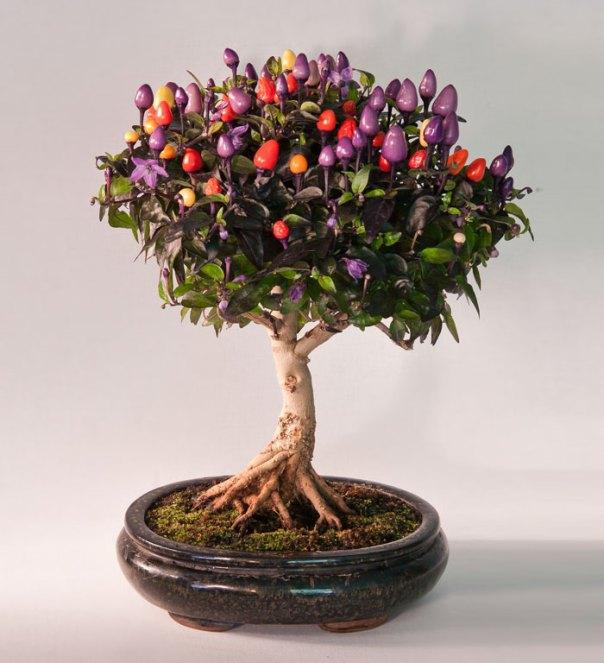 Bonsai árbol Chile
