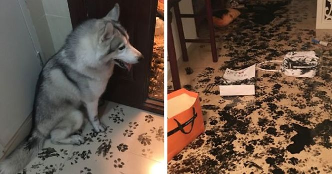 Family Leaves Husky For 3 Hours Dog Redesigns The Apartment