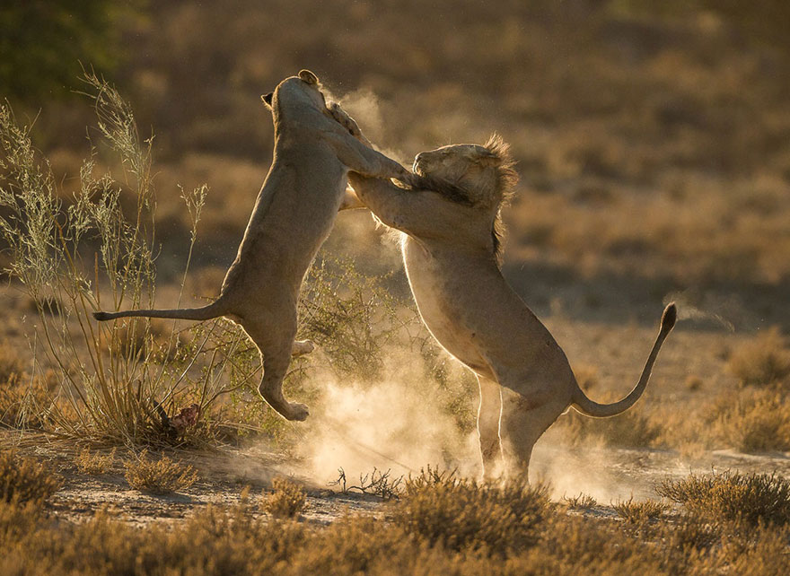 Moment of Impact, Kgalagadi Transfrontier Park, South Africa