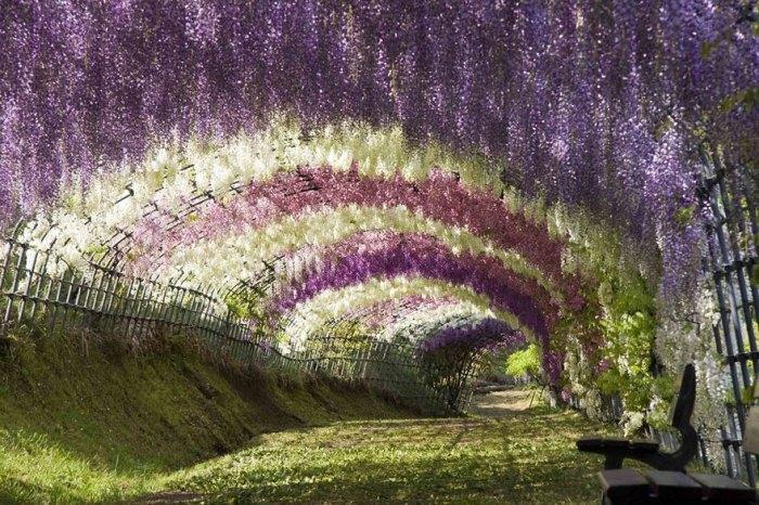 Wisteria Tunnel At Kawachi Fuji Gardens