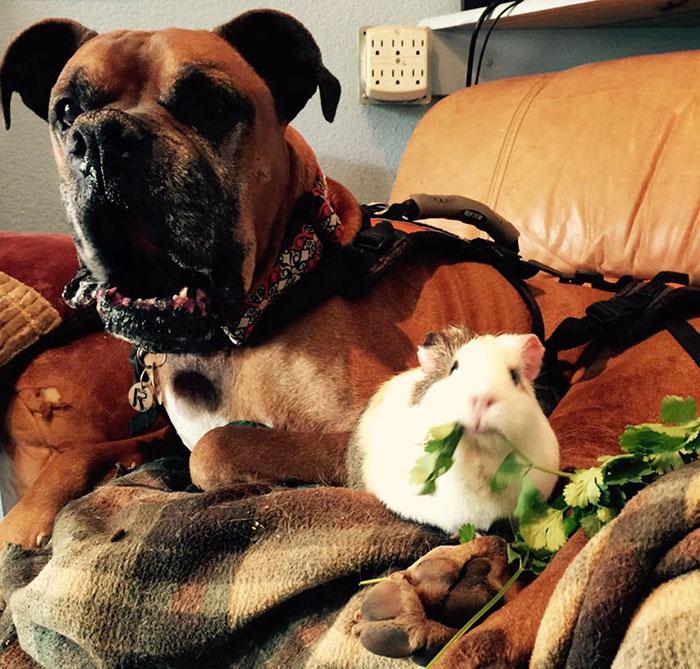dog-guinea-pig-friends-boxer-rex-smores-18