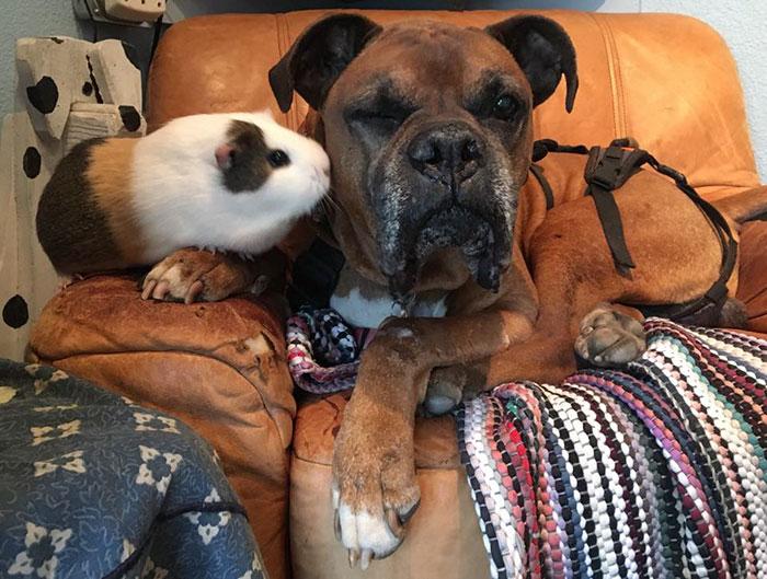 dog-guinea-pig-friends-boxer-rex-smores-28