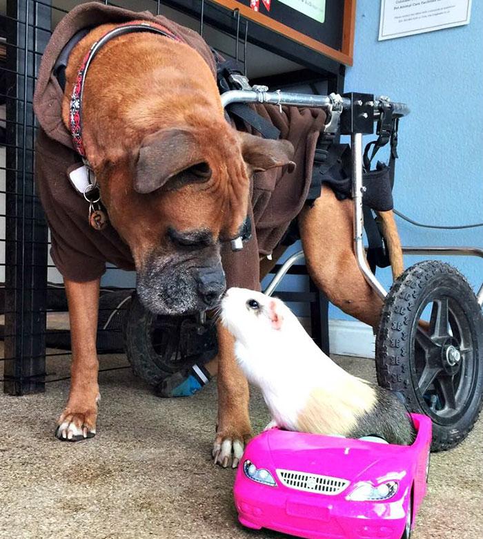 dog-guinea-pig-friends-boxer-rex-smores-4
