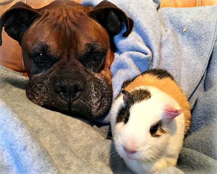 dog-guinea-pig-friends-boxer-rex-smores-8