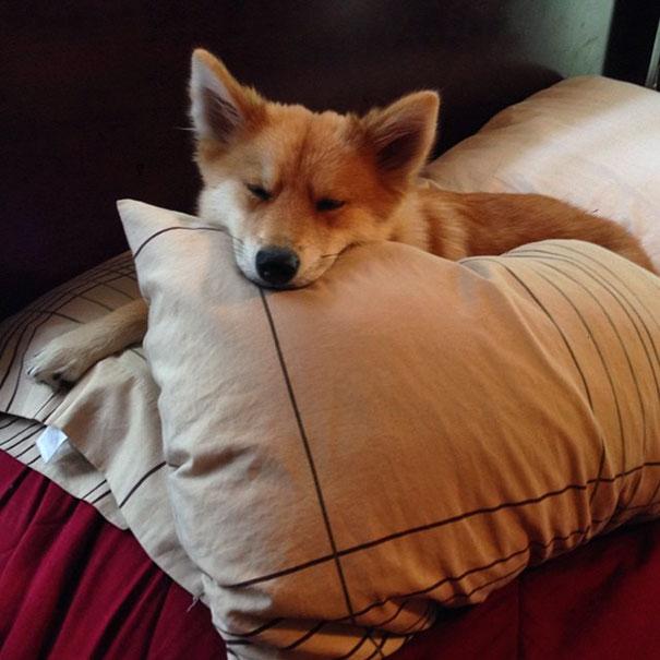 fox-dog-pomeranian-husky-mya-the-pomsky-5