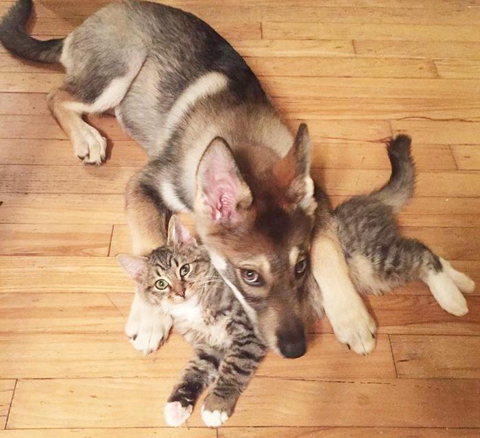 husky-dog-picks-shelter-cat-friendship-raven-woodhouse-christina-1