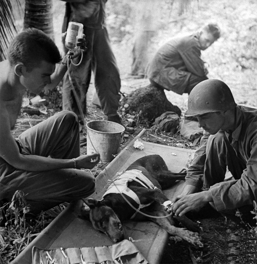 Wounded Combat Dog During Action On The Orote Peninsula, 1944