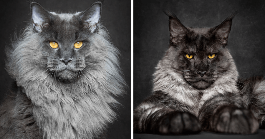 Mythical Beasts  Photographer Captures The Majestic Beauty Of Maine     Mythical Beasts  Photographer Captures The Majestic Beauty Of Maine Coons    Bored Panda