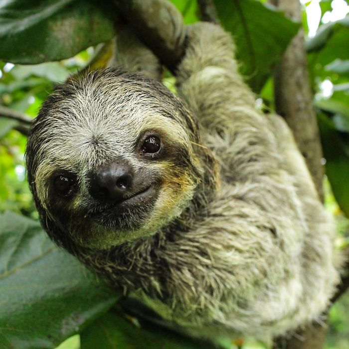15 Unbearably Cute Sloth Pics To Celebrate The