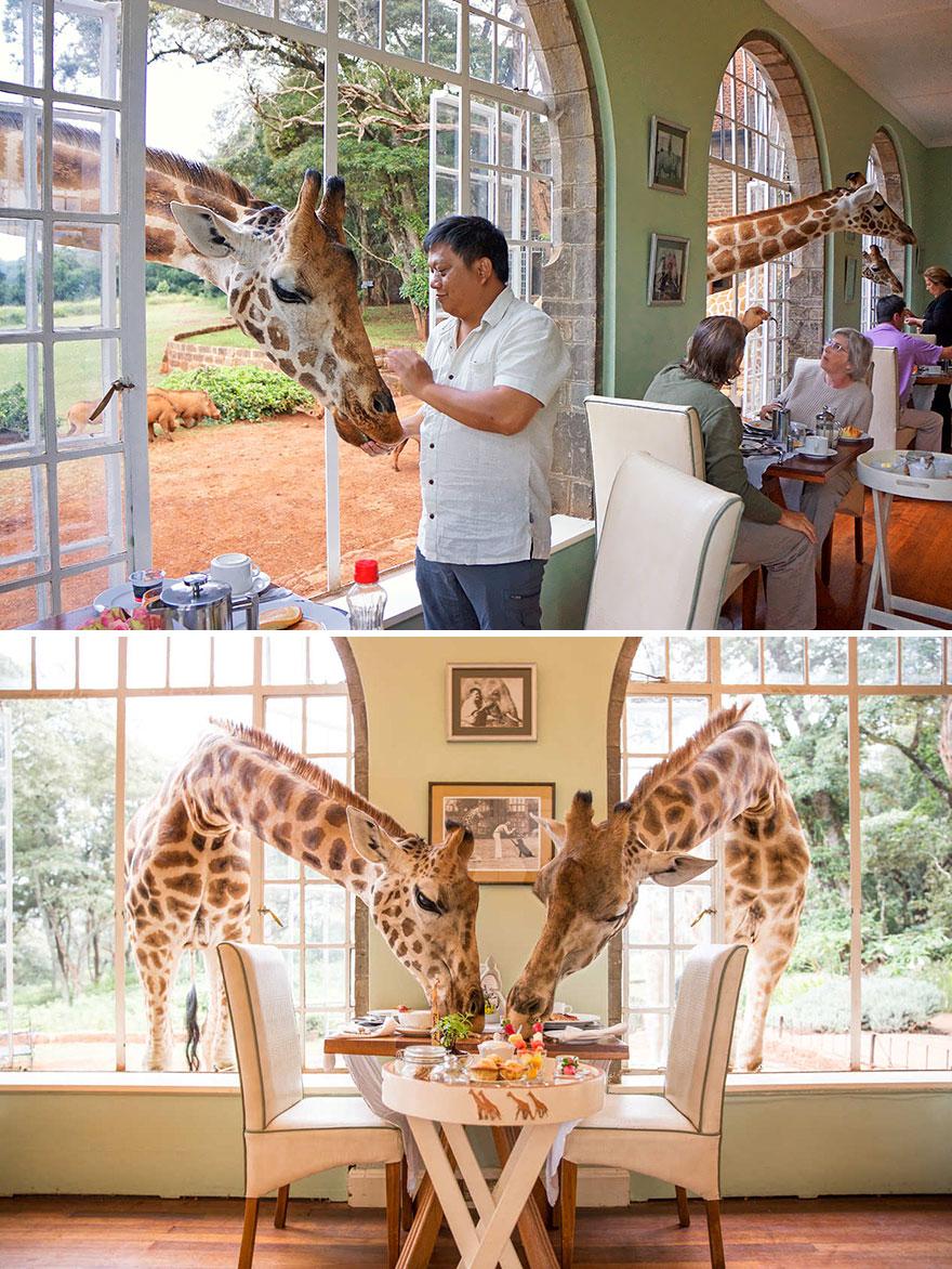 Share Breakfast With A Giraffe, Giraffe Manor, Langata, Kenya