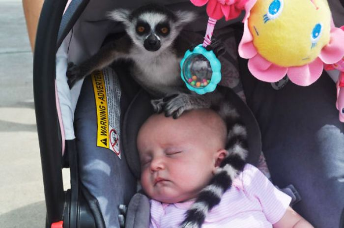 "My Friend Had Her Daughters At A Zoo When She Heard, ""Ma'am, There's A Lemur On Your Baby."""
