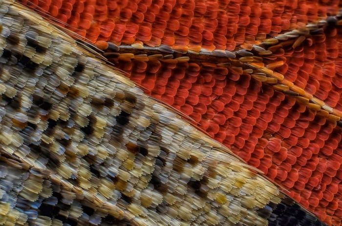 Eleventh Place. Scales Of A Butterfly Wing Underside