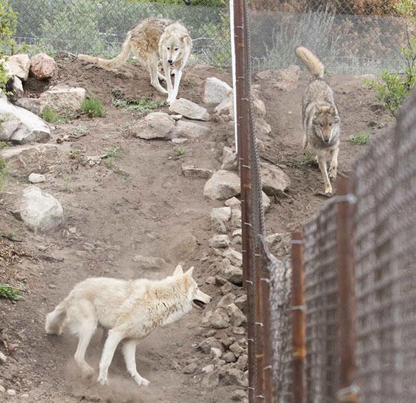not-puppy-dog-wolf-18