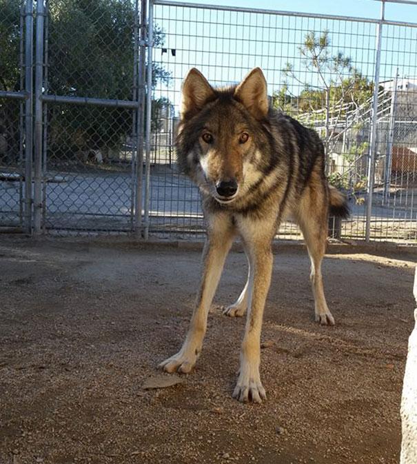 not-puppy-dog-wolf-2