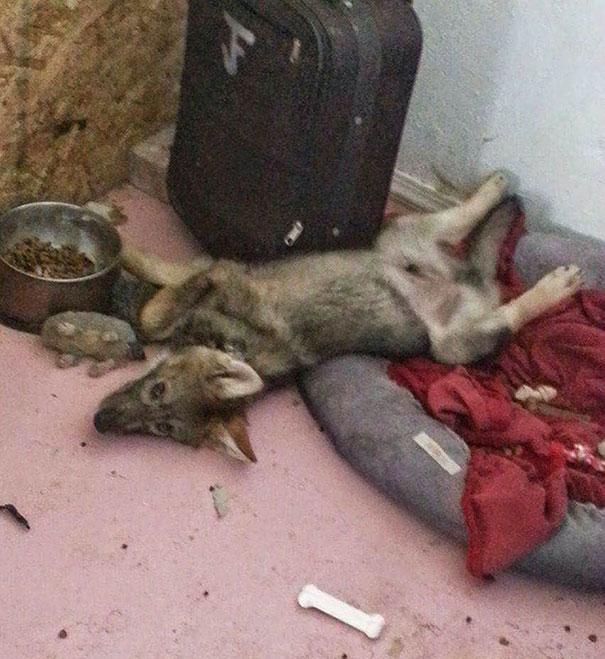 not-puppy-dog-wolf-20
