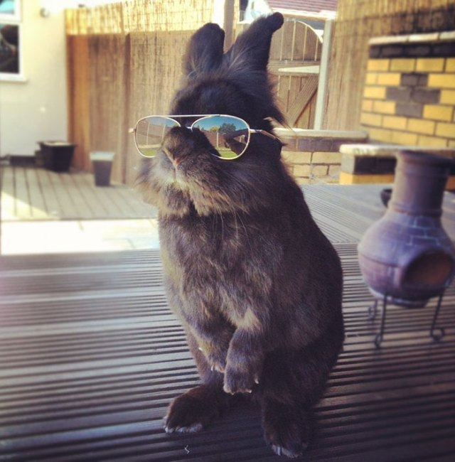 rabbit-wears-sunglasses-photoshop-battle-original-edit