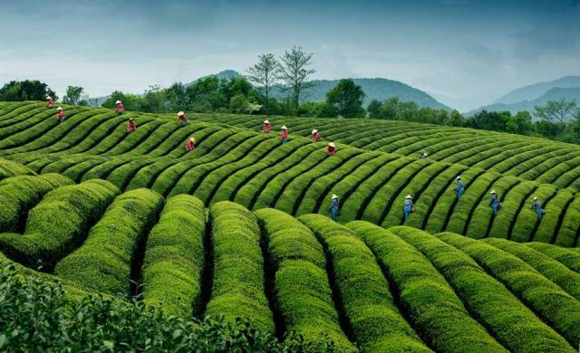 Honorable mention travel category, Ripples in tea, China