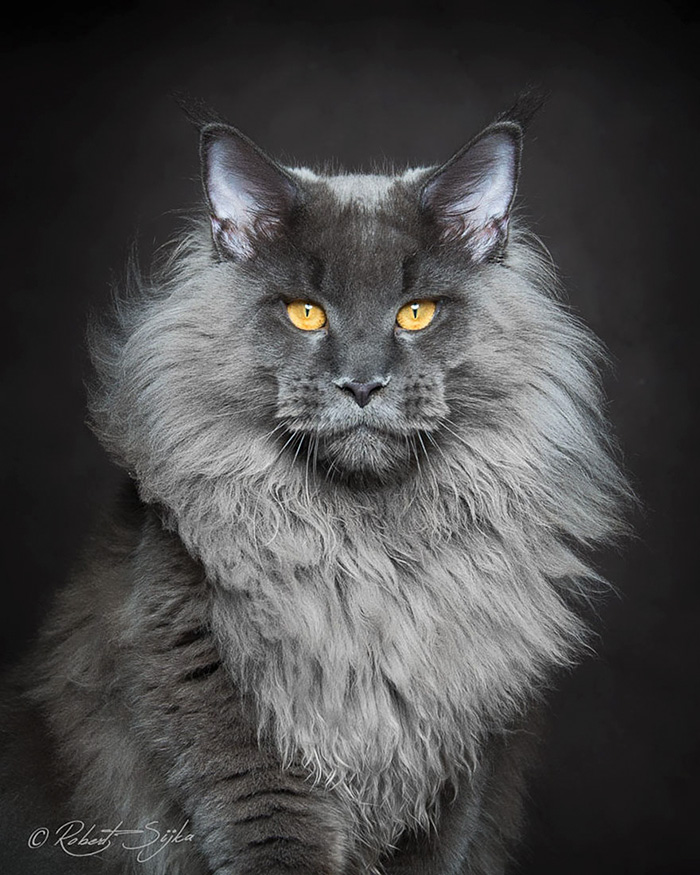 worlds most beautiful cats 42 57fc8b3032b43  700 - 10+ Of The Most Beautiful Cats In The World