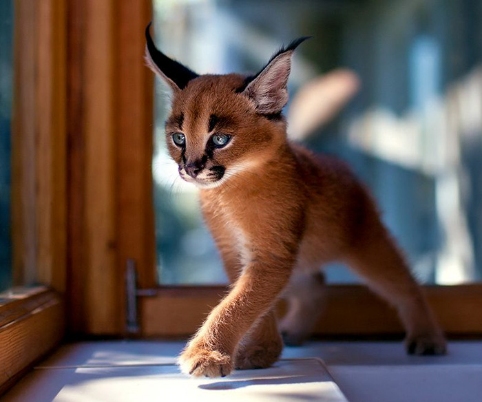 worlds most beautiful cats 45 57fc8fea6880b  700 - 10+ Of The Most Beautiful Cats In The World