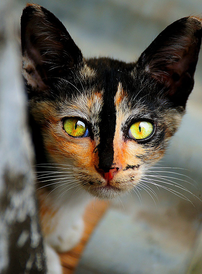 worlds most beautiful cats 61 57fcf4fab77c3  700 - 10+ Of The Most Beautiful Cats In The World