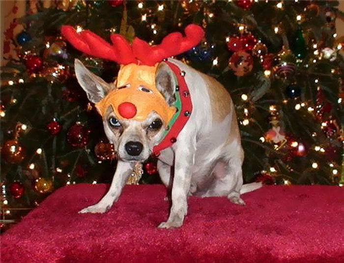 Rudolph, The Pissed-off Chihuahua