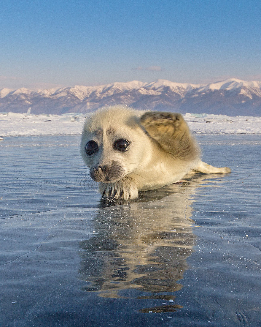 cute-baby-seal-waves-photographer-alexy-trofimov-russia-05a