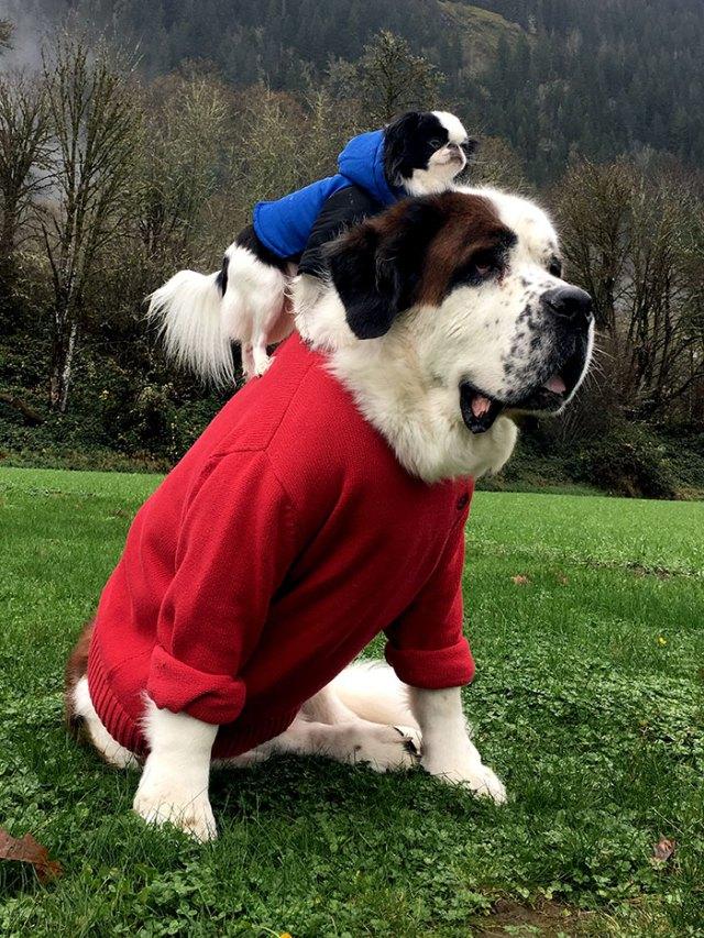 giant-saint-bernard-carries-tiny-dog-blizzard-lulu-david-mazzarella-28