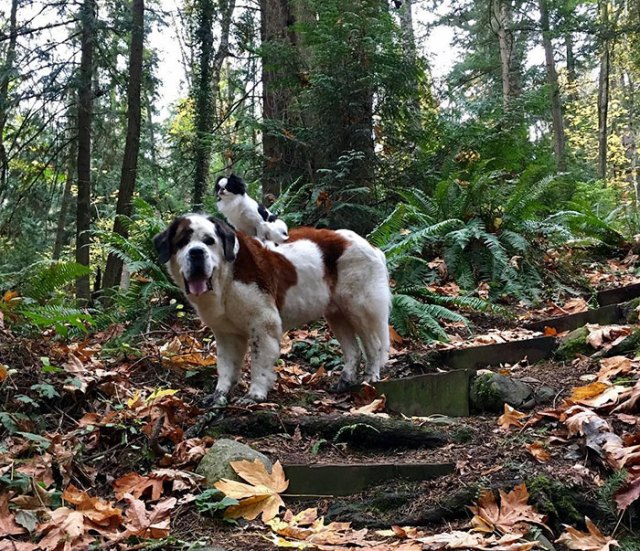 giant-saint-bernard-carries-tiny-dog-blizzard-lulu-david-mazzarella-5