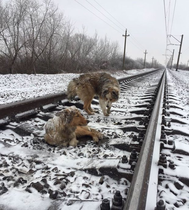 dogs-train-railway-tracks-ukraine-2