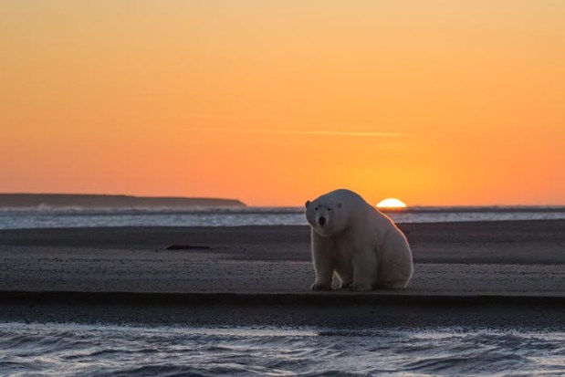 polar-bears-no-snow-photography-patty-waymire-alaska-1