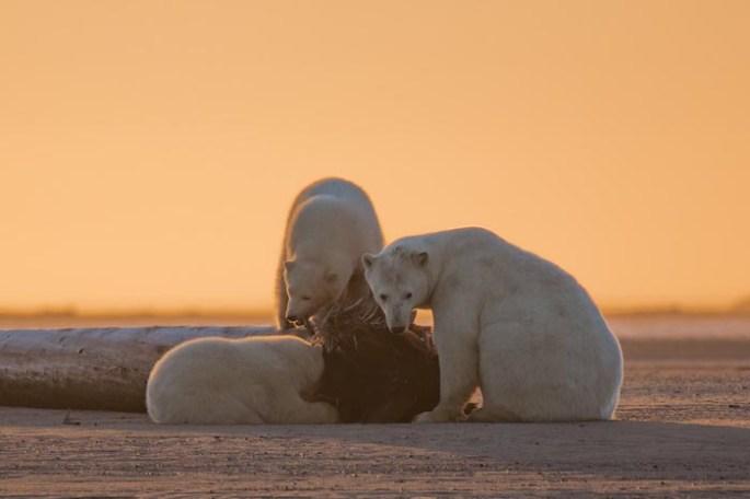 polar-bears-no-snow-photography-patty-waymire-alaska-3