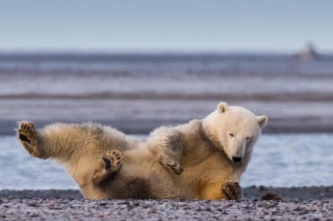polar-bears-no-snow-photography-patty-waymire-alaska-5