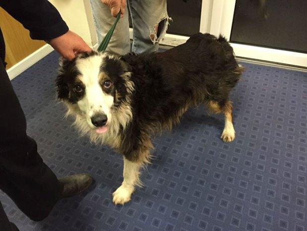 missing-dog-treks-50-miles-find-owners-casey-2