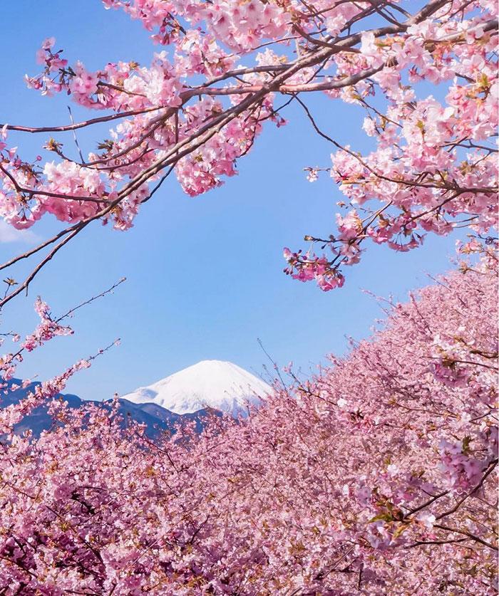 kawazu-cherry-blossoms-shizuoka-japan-16