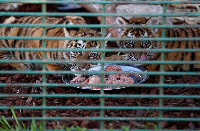 tiger-cubs-box-sits-at-airport-17