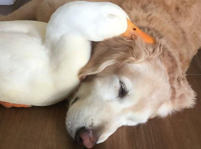 animal-friends-dog-barclay-pekin-duck-rudy-12