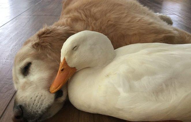 animal-friends-dog-barclay-pekin-duck-rudy-2