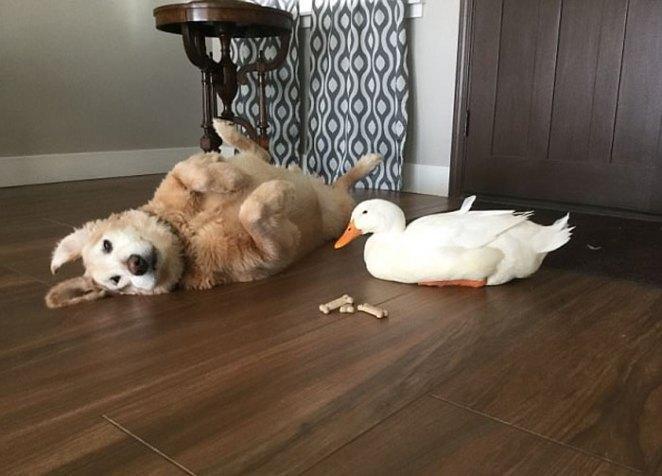 animal-friends-dog-barclay-pekin-duck-rudy-7