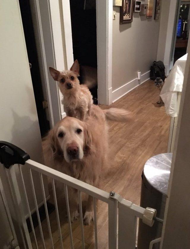 dog-climbs-big-friend-bella-hank-adriana-burkhart-2