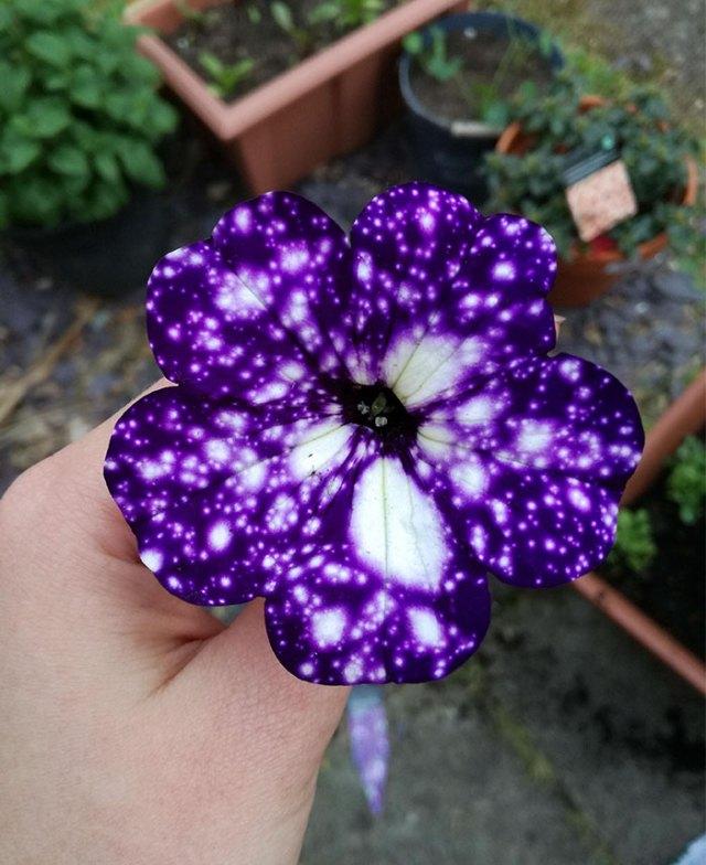 night-sky-petunia-cultivars-galaxy-flowers-16