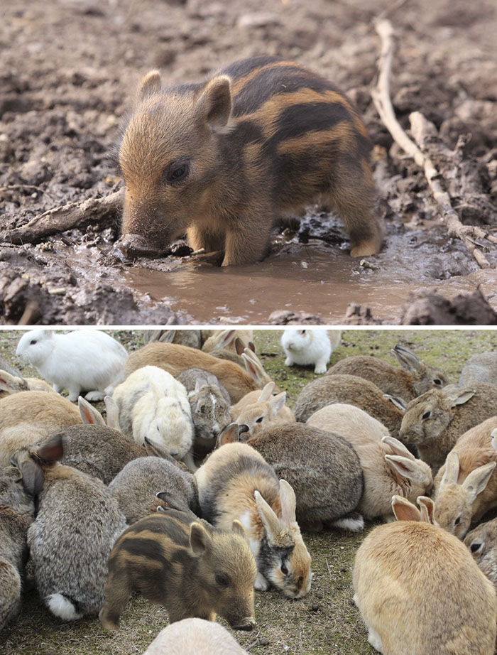 Tiny Warthog In Tiny Mud Puddle